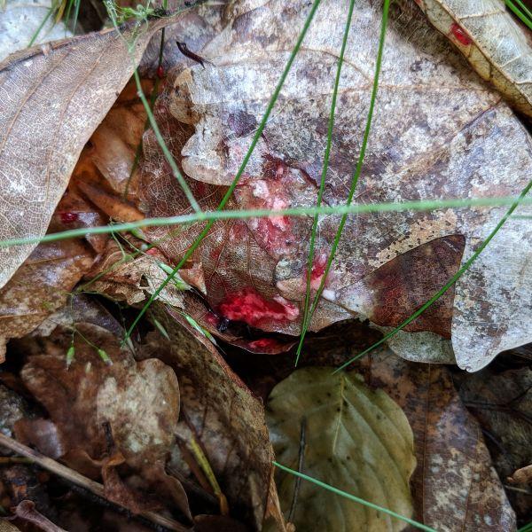Jagdscheinprüfung Pirschzeihen in der Jagdpraxis. Einige Stunden alte Schweissfährte nach Sommerregen.