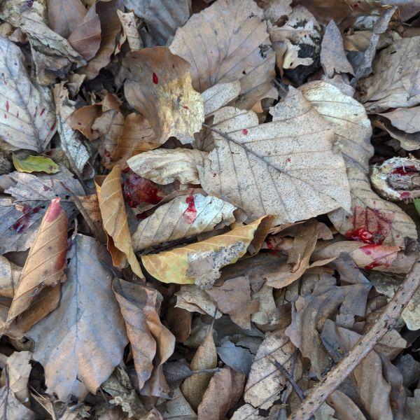 Jagdscheinprüfung Pirschzeihen in der Jagdpraxis. Anschuss von einem Stück Rehwild mit Herz-Lungen-Treffer.