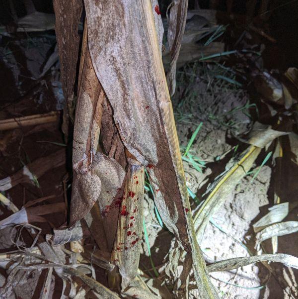 Pirschzeichen aus der Jagdpraxis Frische, gesprenkelte Schweißfährte an Mais von einem Kammer-/Lungenschuss
