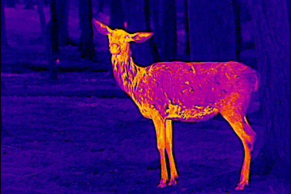 Wärmebildgeräte in der Jagdpraxis. Körperbau und -merkmale sprechen hier für ein Rotalttier.