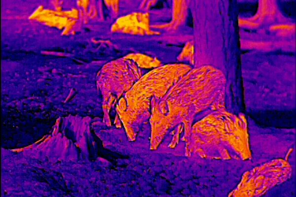 Ansprechen mit dem Wärmebildgerät anhand des Baumstumpfes links lässt sich die Größe der Frischlinge besser einschätzen.