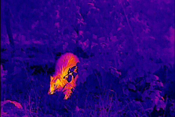 Wärmebildgeräte in der Jagdpraxis. Der Körperbau und Haupt sind nicht gedrungen genug für einen Dachs. Vor allem die Ohren sind nicht dachstypisch - ein Waschbär.