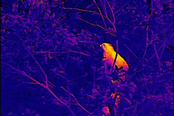 Anpsrechen mit Wärmebildgerät. Hier handelt es sich um zwei Waschbären im Baum. In der Praxis werden sie sich durch ihre Bewegungen klar identifizieren lassen.