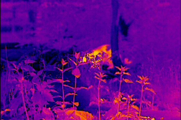 Wärmebildgeräte in der Jagdpraxis.Ein typisches Bild aus der Praxis. Die Siluette ist verfälscht, lediglich die Größe ist anhand der Pflanzen abschätzbar, offensichtlich zeichnet sich eine Rute ab. Hier ein Waschbär.